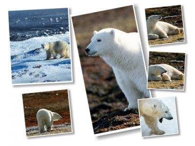Картинки с полярными медведями (6 картинок)